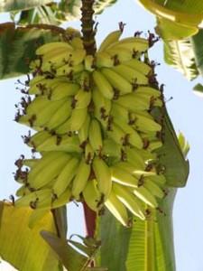 Albero di Banano