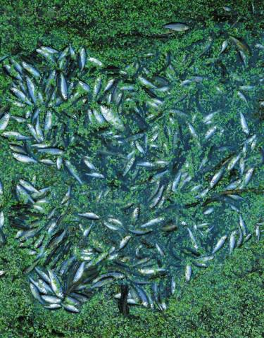 Pesci Morti a causa dell'inquinamento