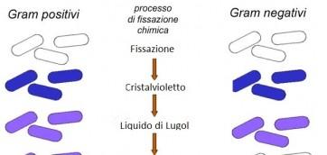processo-colorazione-di-gram-batteri