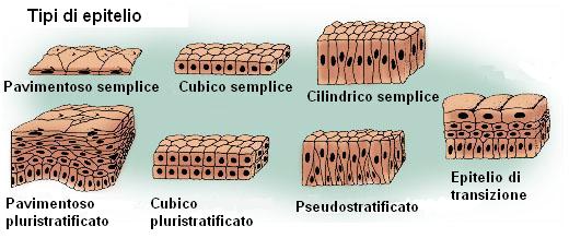 Tessuto epiteliale funzione struttura e classificazione the bald mountain blog - Che forma hanno le cellule dei diversi tessuti ...
