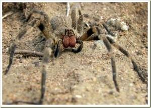 ragno-errante-brasiliano