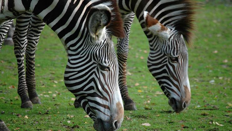 #Curiosità – Perché le Zebre hanno le strisce?