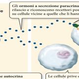Funzione e classificazione degli ormoni