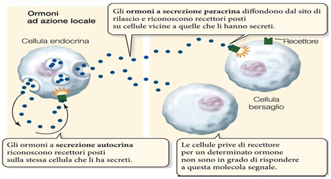 Gli ormoni ad azione locale agiscono sulla stessa cellula che li ha rilasciati (autocrini) o stimolano cellule vicine (paracrini).