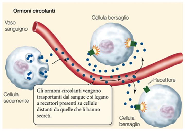 Gli ormoni che agiscono su cellule distanti dal luogo di produzione si definiscono endocrini o circolanti perché vengono trasportati dal circolo sanguigno.