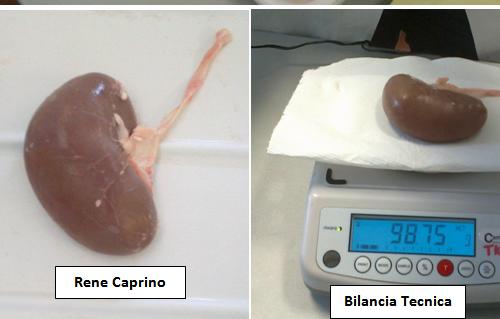 Relazione sulla dissezione del rene